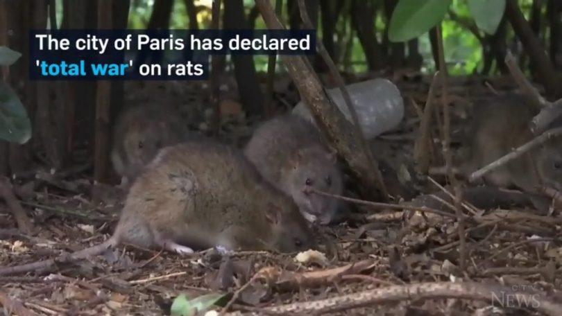 paris-rats